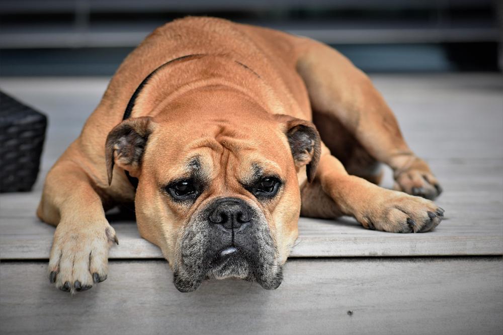 bagnetto al proprio cane boxer